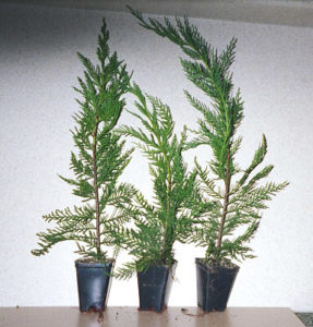 12 To 18 Inch Super Plugs | Leyland Cypress Trees