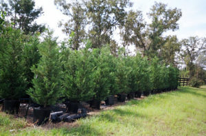15 Gallon Leyland Cypress Trees 6 To 8 Feet Tall | Leyland Cypress Trees