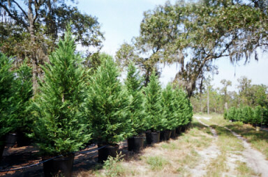 25 Gallon Leyland Cypress Trees 8 To 10 Feet Tall | Leyland Cypress Trees
