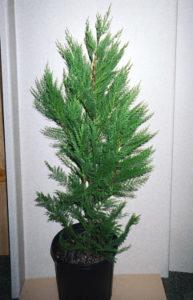 30 To 42 Inch Heavy Transplant | Leyland Cypress Trees
