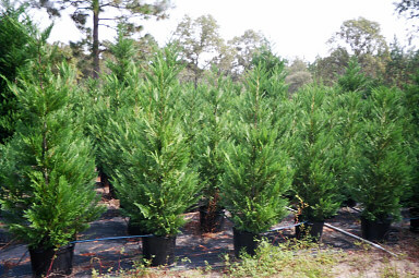 7 Gallon Leyland Cypress Trees 5 To 6 Feet Tall | Leyland Cypress Trees
