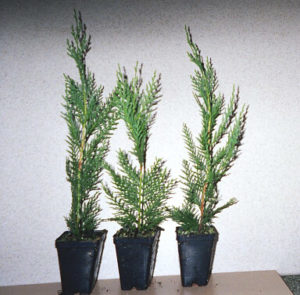 8 To 12 Inch Super Plugs | Leyland Cypress Trees
