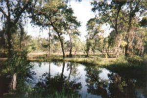 Hand Dug Catfish Pond | Leyland Cypress Trees