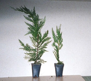 Left 12 Inch Super Plug Right 8 Inch Super Plug | Leyland Cypress Trees