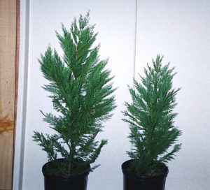Left 42inch Right 30 Inch Heavy Transplants | Leyland Cypress Trees