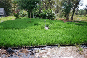 Super Plugs Growing On Sun Bed | Leyland Cypress Trees