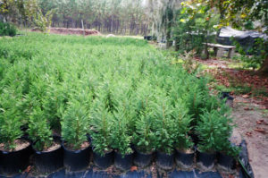 Thousands Of 18 To 30in Heavy Leyland Cypress Tree Transplants | Leyland Cypress Trees