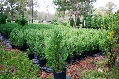 Thousands Of 30in To 42in Heavy Leyland Cypress Transplants | Leyland Cypress Trees