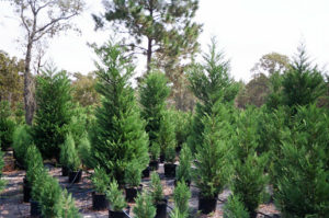 Young And Old Leyland Cypress Trees | Leyland Cypress Trees